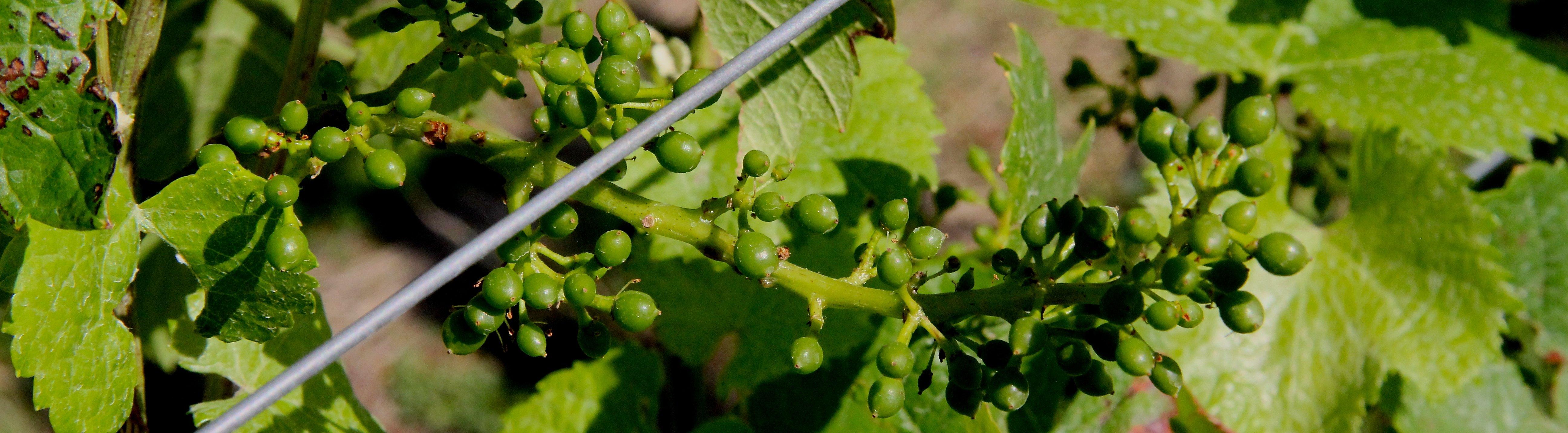 wijndruiven-op-wijngaard-wijnen-van-Legrandcru.nl